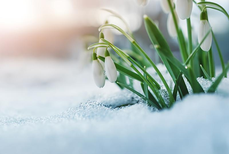 White flowers blooming out of the snow